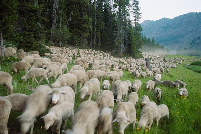 Flocks of sheep in Montana's Absaroka-Beartooth mountains
