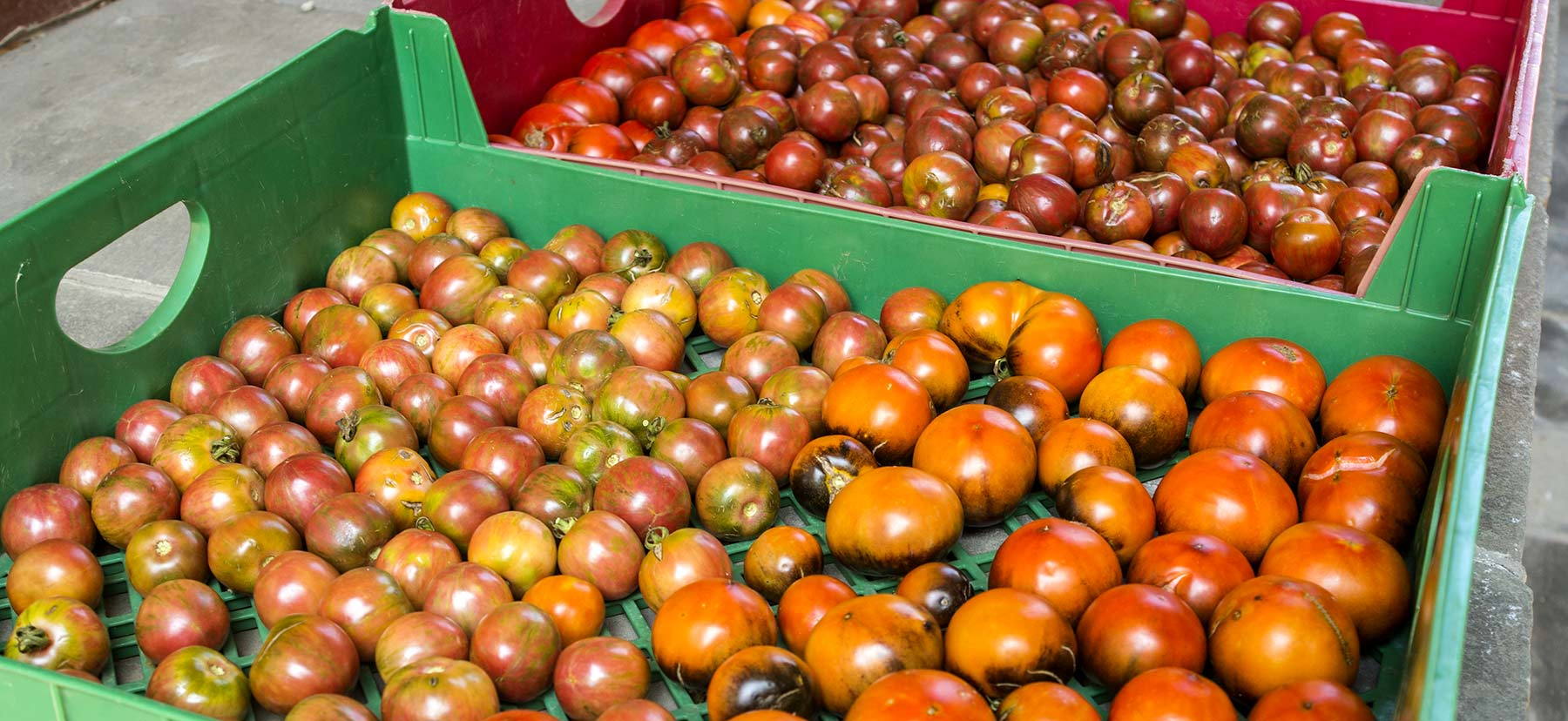 Hundreds of freshly harvested tomatoes grown on campus