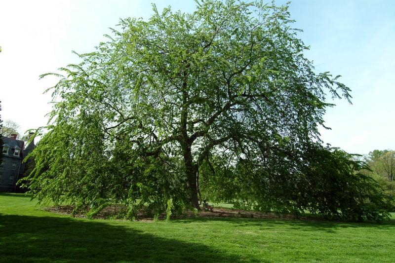 penn treaty elm arboretum haverford college