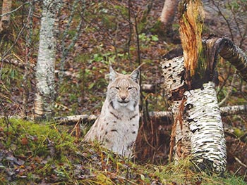 A Lynx stares down the camera from amidst the trees