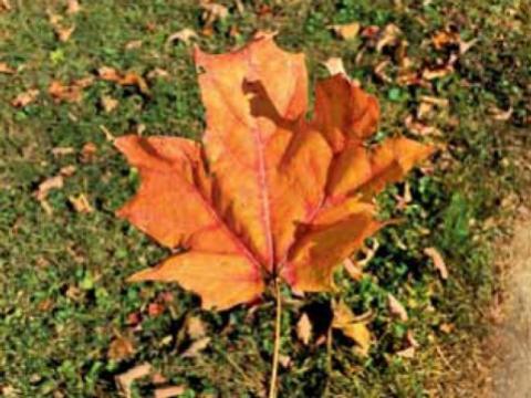 Maple Leaf - Mike Startup
