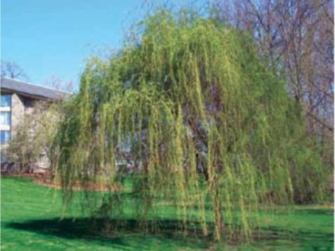 Scarlet Curls Willow