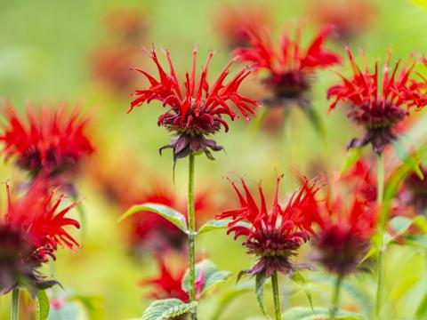 Close-up image of red flowers in the rain garden adjacent to VCAM.
