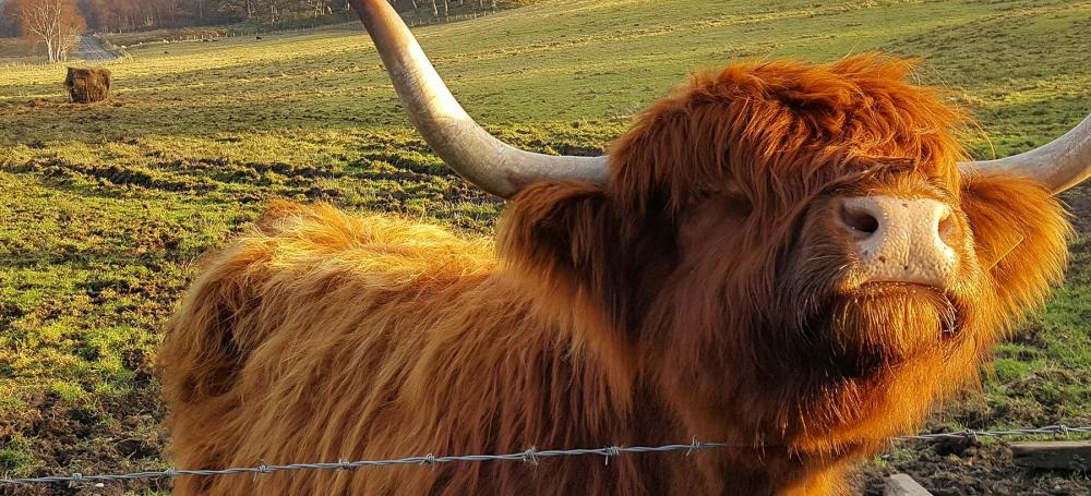 A hairy highland cow getting up close with the camera