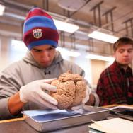 Senior Sergio Fernandez examines a human brain in Neurobiology of Sexual Behavior class