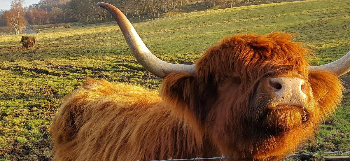 Close up of an adorable ginger hairy cow
