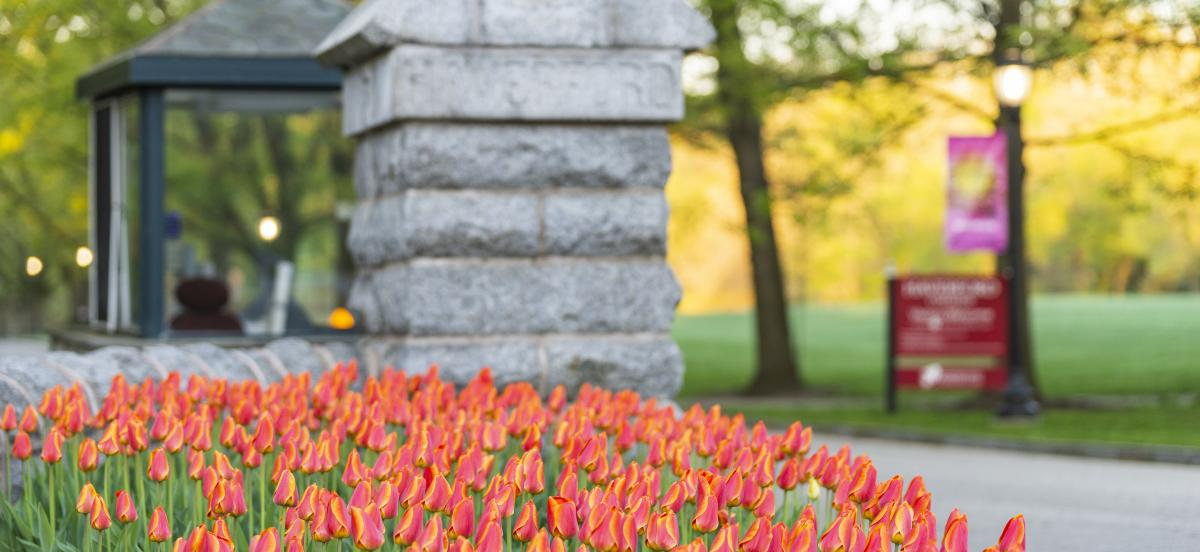 The front gates of Haverford College with a field of yellow and orange tulips in bloom