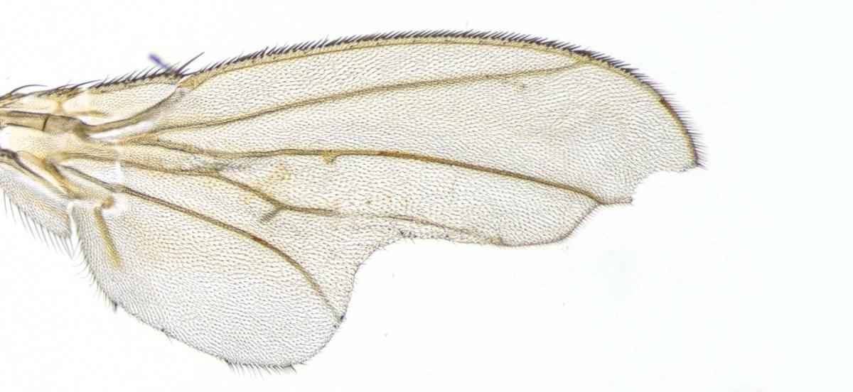 An image of a fly wing with abnormal vein placement
