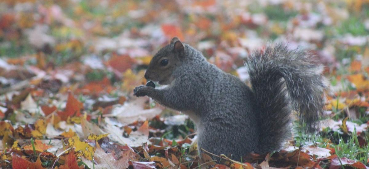 Eastern gray squirrel with an acorn