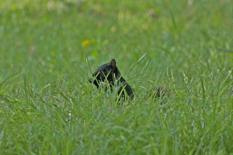 A black squirrel peering out of vibrant green grass